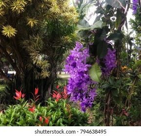Faculty of Education, Lampang Rajabhat University, Capital District, Lampang City, Thailand.  January 15, 2018 Purple Wreath Flowers hanging from The Wood Lath