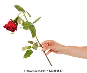 Faded broken red rose in her hand isolated on white background