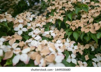 Faded flowers of the Japanese dogwood or Cornus kousa in closeup.