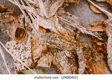 Faded Hosta leaves. Nature background image