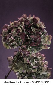 Faded pink hydrangea with a grunge effect.