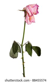 A faded pink roses dry on a white background