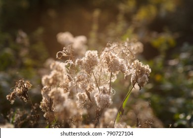 faded plants with fluffy blooms in their natural habitat Backlight of the sun during a summer evening makes an atmospheric background picture