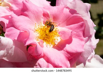 faded rose with bee sucking on nectar