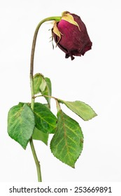 Faded rose on white background
