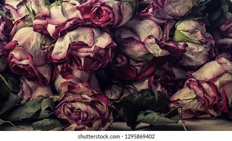 faded roses as stil life