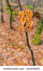 Faded yellow beech leaves on twig in forest.  Vertical photo with copy space in the left side.  Shallow depth of field and blurry background.