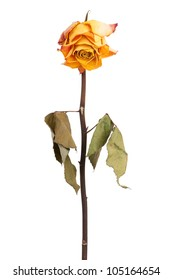 Faded yellow rose on a dry stalk with leaves
