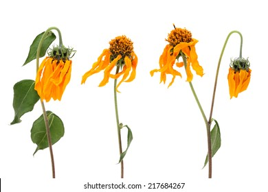 fading cosmos flowers isolated on white background