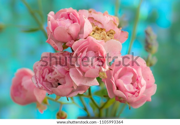 fading-polyantha-rose-pink-flowers-600w-