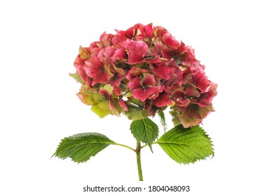 Fading red hydrangea flower and foliage isolated against white