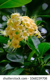 Fagraea fragrans's flowers