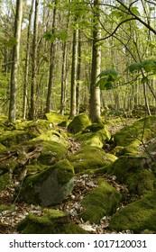 Fagus sylvatica, european beech, common beech, Buche, Wald