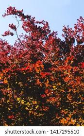 Fagus sylvatica f. purpurea or copper beech tree red foliage