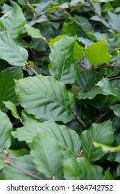 Fagus sylvatica - green bush