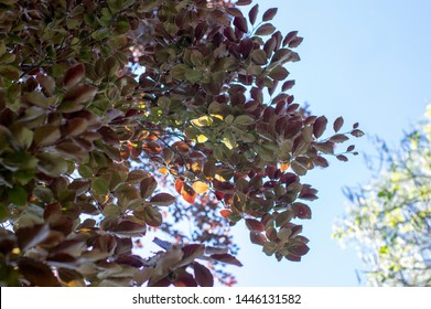 Fagus sylvatica purpurea tree branches, beautiful ornamental beech tree, copper beech with purple leaves, early summer season