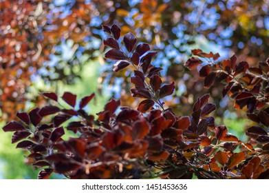 Fagus sylvatica purpurea tree branches, beautiful ornamental beech tree, copper beech with purple leaves, blue sky and magic sunlight