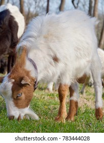 Fainting Goats and Kids