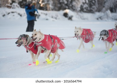 FAIRBANKS, ALASKA - FEBRUARY 3, 2018: Dogs from race veteran Matt Hall's team race along the Chena River.