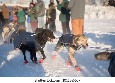FAIRBANKS, ALASKA - FEBRUARY 3, 2018: Dogs from veteran Hugh Neff's team stare intently down the trail of the Yukon Quest.