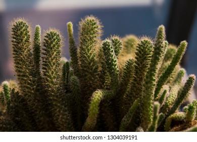 Fairy castle cactus close up