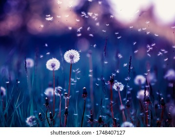 fairy field with white fluffy flowers dandelions and flying seeds in lilac and purple fairy tones