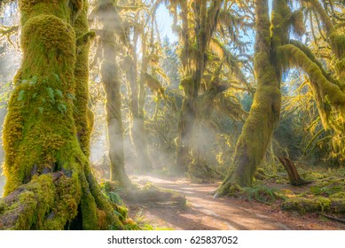 Fairy forest is filled with old temperate trees covered in green and brown mosses. Hoh Rain Forest, Olympic National Park, Washington state, USA