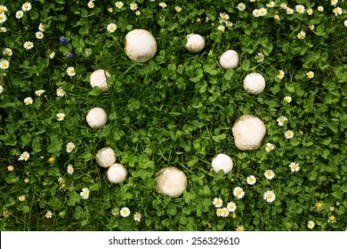 a Fairy ring of mushrooms in a meadow