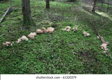 Fairy Ring: a natural occuring which proves that colonial mushrooms (here mildly poisonous Ramaria mushroom ) grow in circle due to availble mycelia underneath.
