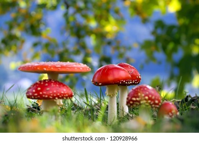Fairy ring of Red amanita mushroom fly agaric in french Pasture
