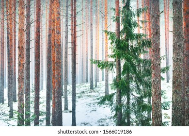 Fairy winter scene. Blizzard in the forest. Pine and fir trees close-up. Lapland, Finland