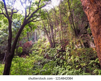 Fairytale Forest, la Galga, hiking trail, la Palma, Los Tilos, Located on La Palma in the west-north jungle, is a World Heritage Site. Lianas, creepers, early trees and giant ferns .
