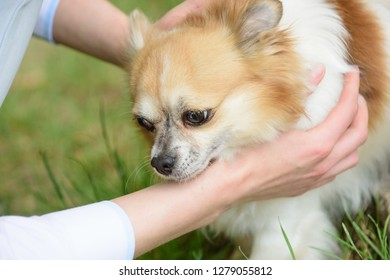 A faithful companion. Pomeranian spitz held by owner hands. Pomeranian spitz dog walk on nature. Pedigree dog. Dog pet outdoor. Cute small dog play on green grass. Pet care and animals rights.