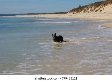 A  faithful grey coarse coated dog runs in the waves at Hutt's Beach near Bunbury Western Australia   on a sunny afternoon in early autumn enjoying the freedom  and a swim in the ocean.