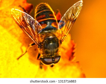 Fake bee Eristalis tenax drone fly in spring time sunshine, macro closeup