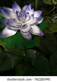 Fake purple lotus flower made from recycled plastic float amongst real plant.