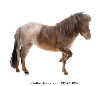 Falabella miniature horse in front of white background