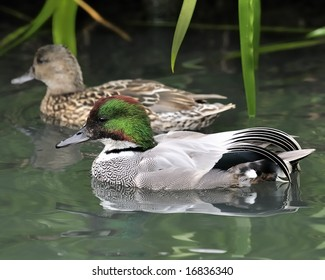 Falcated Duck or Falcated Teal (Anas falcata) pair swimming