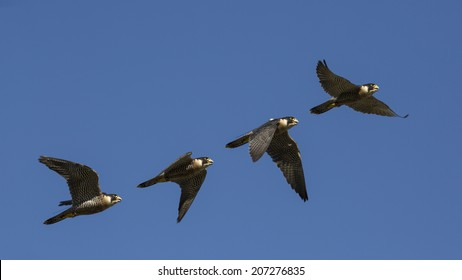 Falco peregrinus, flying sequence with blue sky in attack, falconry, peregrine falcon.