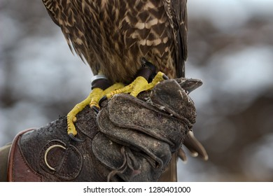 falcon claws on leather glove
