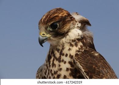 Falcon in the desert of Qatar.