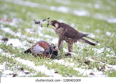 falcon eating the pheasant
