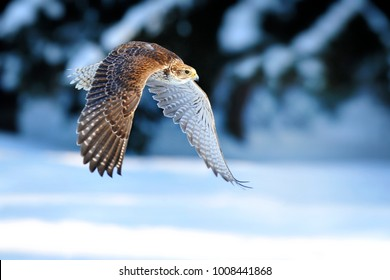 Falcon fly. Beautiful bird is hunting a pray in winter. Hunting with eagle.