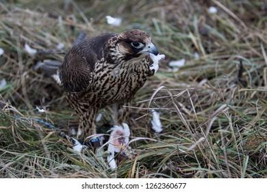 Falcon with his prey