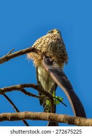 Falcon kestrel (Falco tinnunculus)