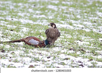 falcon with male of pheasant