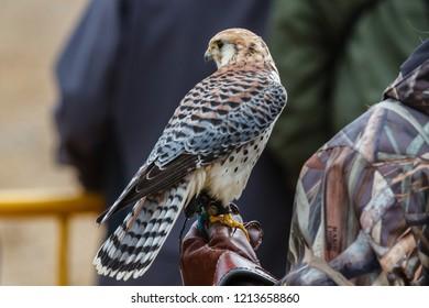 Falcon on the fist of a falconer.