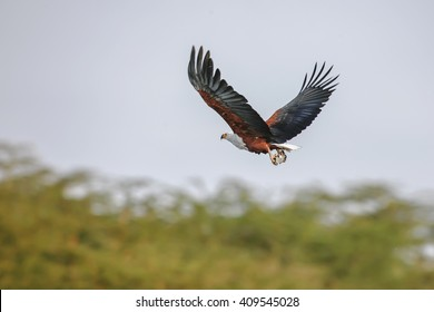 Falcon with outstretched wings under the cloudy blue sky
