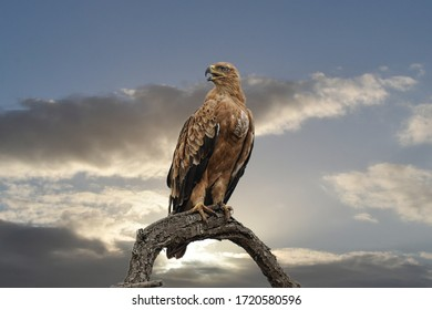 Falcon Perched Is on Tree