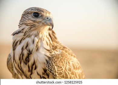 Falcon Resting but Sharp
